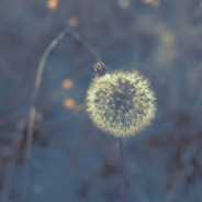 Dandelion/blue
